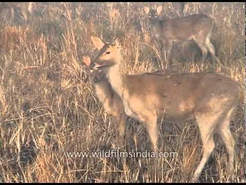 Sambar deer (Rusa Unicolor) at Kaziranga National Park, Assam