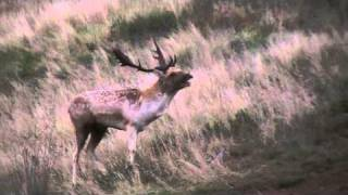 fallow deer stag (buck) grunting