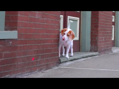 Dog Follows Laser Downtown: Cute Dog Maymo