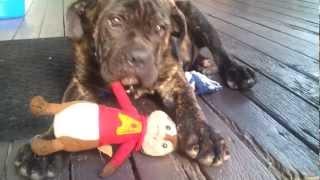 Neapolitan Mastiff  X American Johnson Bulldog Pup