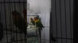 Masteran lovebird ngetik pendek lanjut ngekek 1 menit