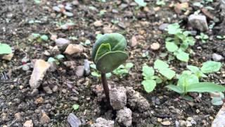 丹波黒大豆枝豆発芽しました 家庭菜園