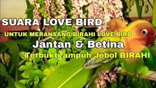 Download lagu JEBOL BIRAHI LOVEBIRD BETINA KONSLET    Merangsang birahi lovebird agar jebol BIRAHI KONSLET