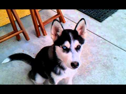 Siberian Husky Puppy W Brown Blue Eyes