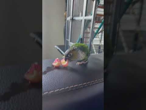 This is Carl, my black capped conure parrot