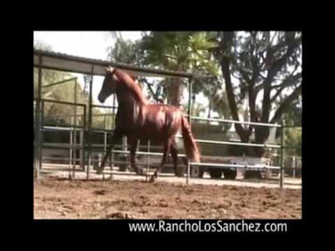 Chestnut PRE Stallion AT STUD