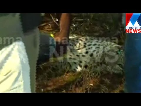 Leopard tranquilized after 7 hours, Kannur heaves a sigh of relief | Manorama News