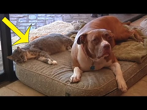 When Two Coyotes Attacked This Cat, The Family Pit Bull Knew He Had To Intervene