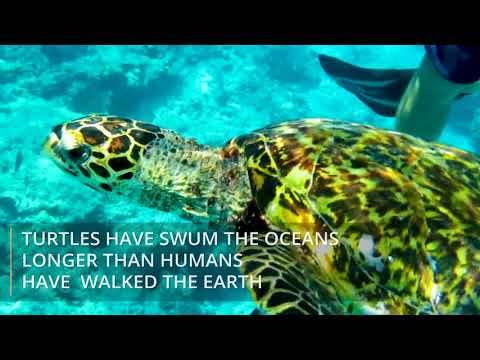 Hawksbill Turtle Conservation