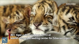 World's largest breeding center for Siberian tigers welcomes over 80 new-born cubs in H1