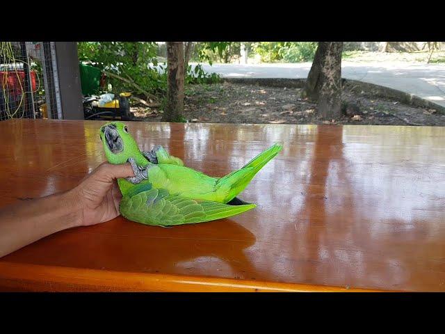 Amazing Acrobat Parrot Somersault Trick || ViralHog
