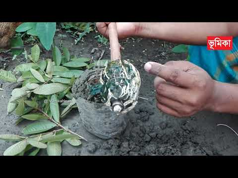 পেয়ারা গাছে গুটি কলম ও সফল ভালো রোপন   Guava Air Layering   Aagro news