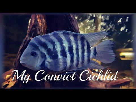 My Male Convict Cichlid | Sad Video 😔
