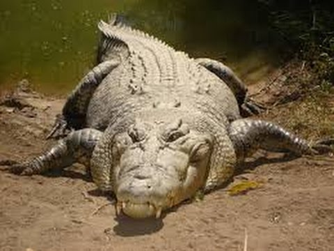 National Geographic Predator CSI Tragedy of the Kruger Crocodiles