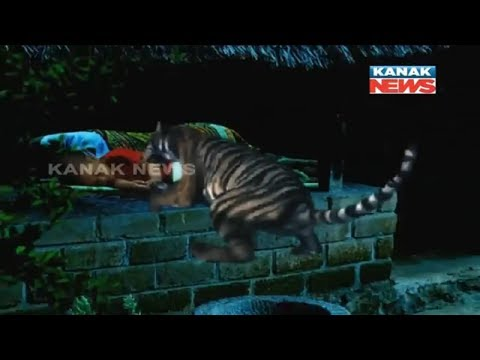 4-Yr Old Baby Killed By Tiger In Nuapada