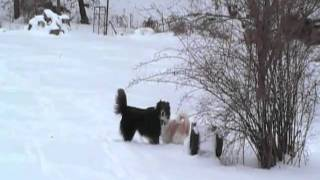 Border Collies Black and White playing in the snow.
