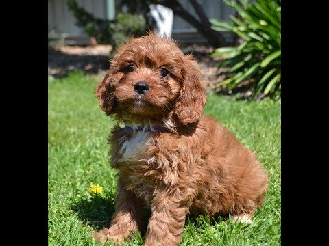 Cavoodle Puppies October 2019