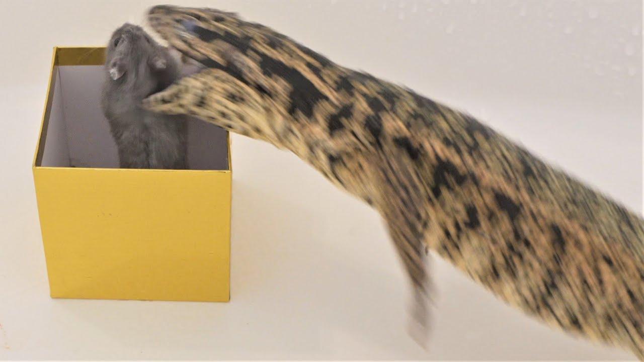 Tegu consumes hamster in 4K60 (live feeding)