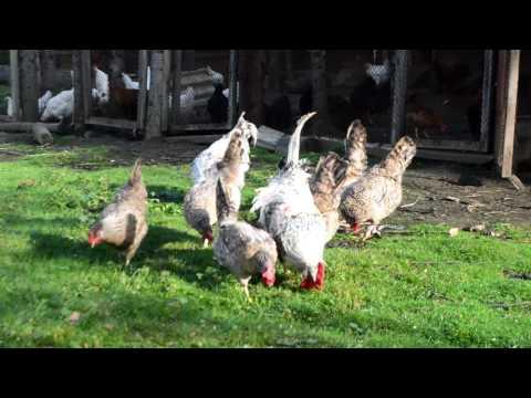 разновидность домашних кур созданных путём искусственного