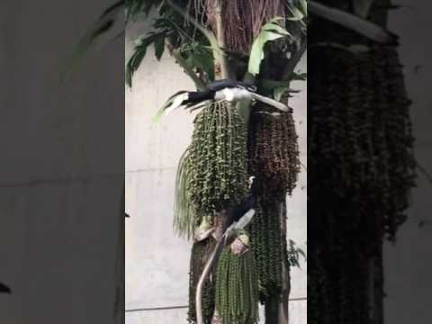 Oriental Pied Hornbills @Kew Drive