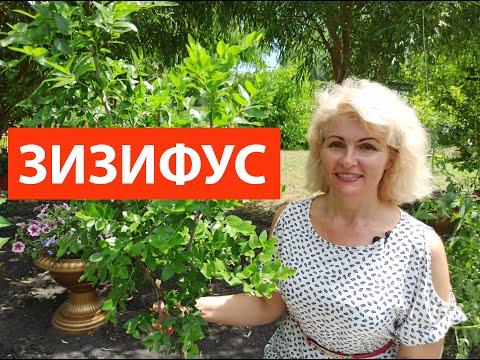 УНАБИ, ЮЮБА, КИТАЙСКИЙ ФИНИК, ЗИЗИФУС