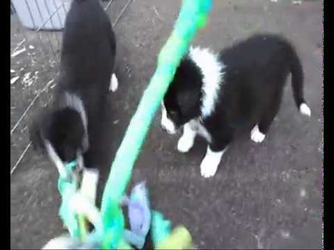 "Stars of the Moon ""Brave Litter"" of Border Collies - 6 weeks"