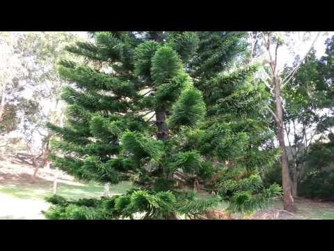 Norfolk Island Pine Araucaria heterophylla HD 03