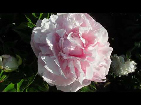 Сьюзи Ку пион розовый 2017г