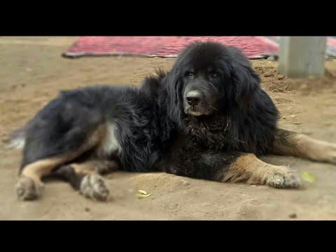 Naaz Kennel Tibetan Mastiff And Gaddi Dogs Khanna,Punjab