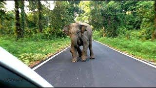 Elephant chasing at end managed by alone Jasoprakas.
