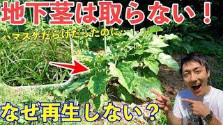 地下茎は取らなくて良い!?地下茎雑草ハマスゲ対策!夏野菜を育ててみた!