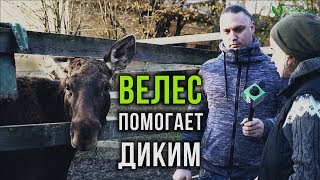 «Велес» помогает диким. Репортаж из Российского карантинного Центра диких животных  в Лен. области.