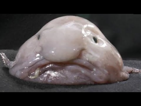 Facts: The Blobfish