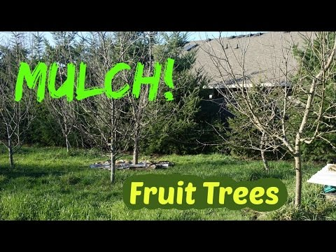 Fruit Trees Mulching With Cardboard And Wood Chips