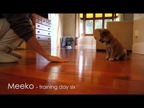 Shiba Puppy Training - Day 6