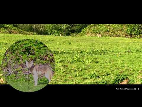 Hunting Coyote With Air Rifle
