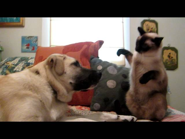 Cat boxing dog. Who wins?