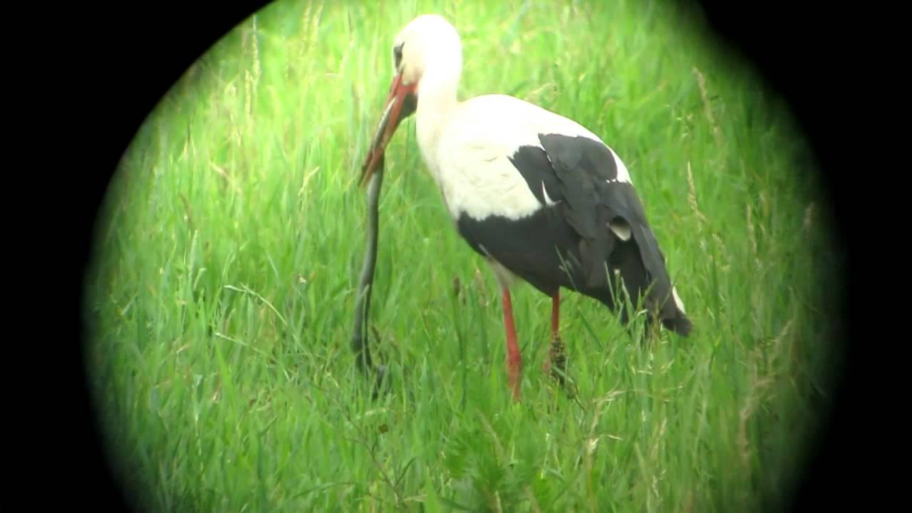 Weißstorch - Ciconia ciconia frisst Ringelnatter - YouTube