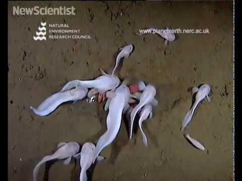 World's deepest living fish