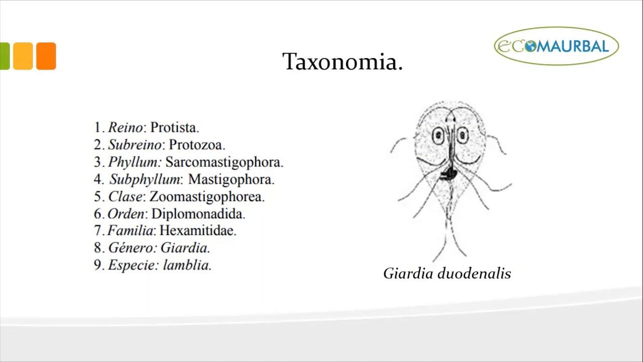 giardiasis taxonómia