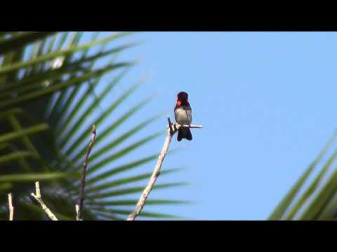 Bee Hummingbird, Cuba, 08 April 2013