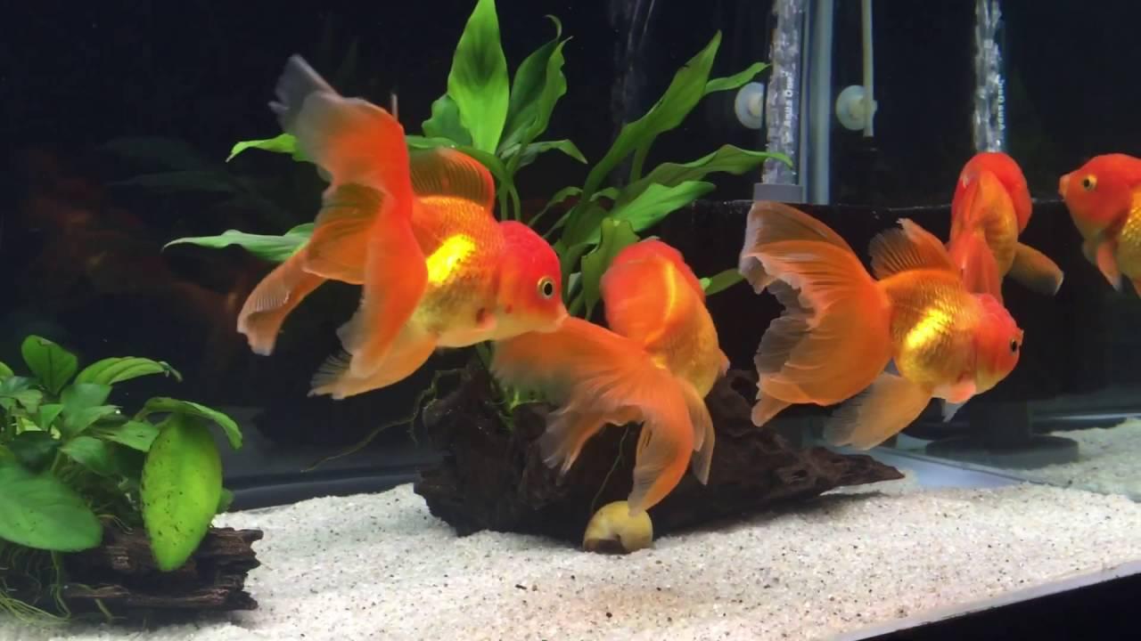 Αποτέλεσμα εικόνας για oranda goldfish in aquarium