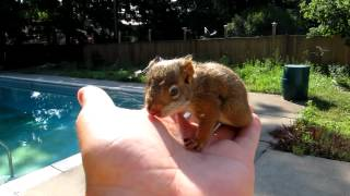 Baby Red Squirrel Lost His Mother