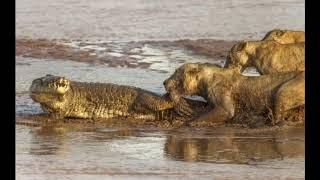 ジャガー対ワニ ライオンの攻撃ワニ ... このビデオには、ワニとジャガ...