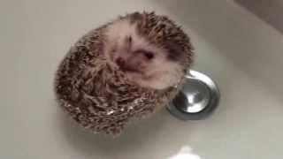 Ежик 2. hedgehog, hedgehogs
