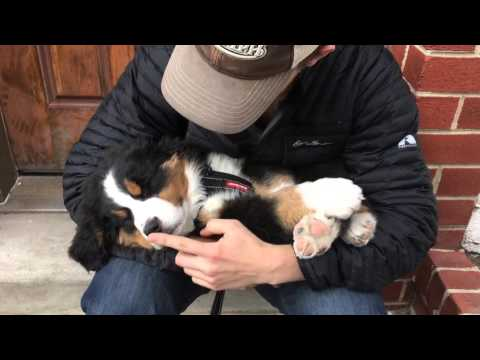 Bernese Mountain Dog puppy PASSED OUT