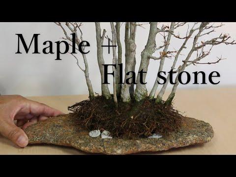 Maple+Flat Stone Repotting 平石+楓 石付き楓