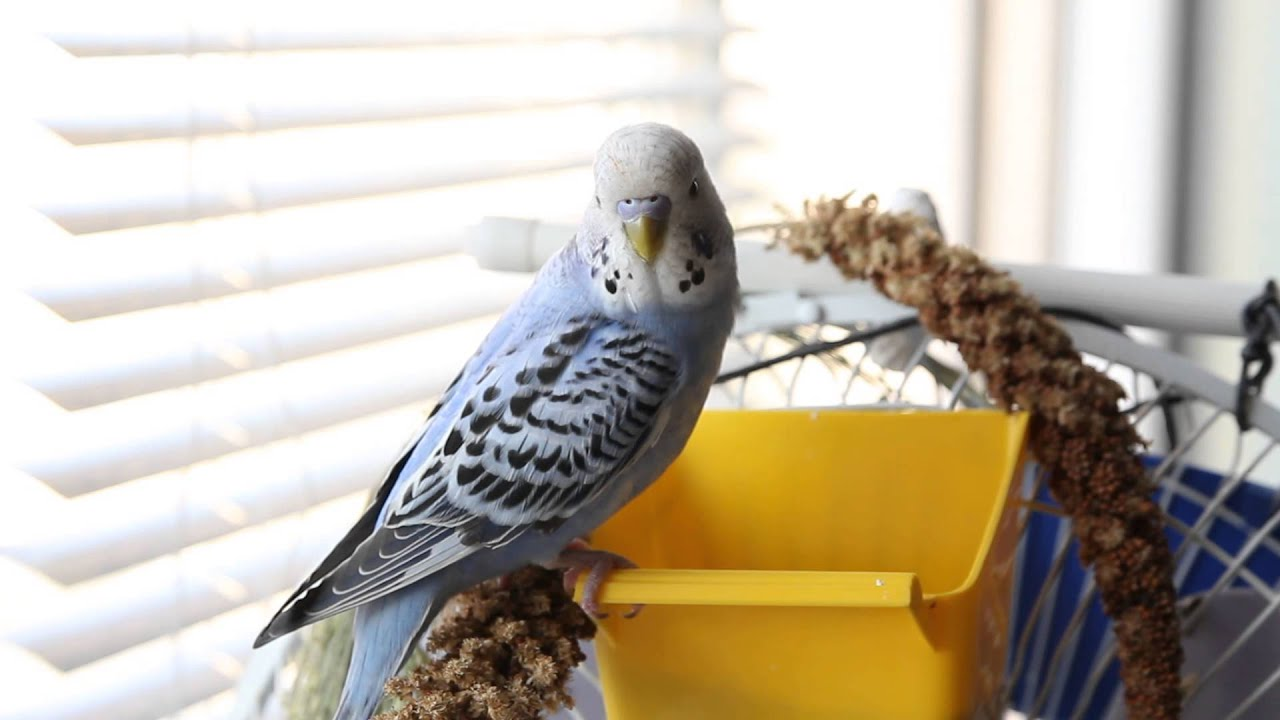 как научить разговаривать волнистого попугая многих доступ