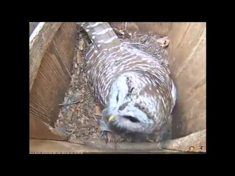 Male Barred Owl delivers a small mammal to female 3/25/16 at 10:59