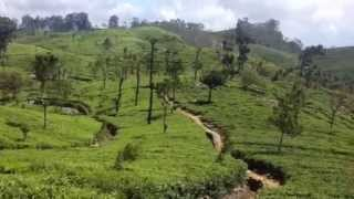 Dambatenne tea plantation, Sri Lanka